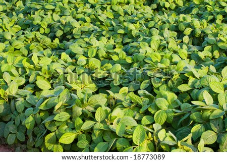 bean field - stock photo