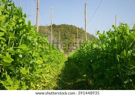 Bean field in Asia - stock photo