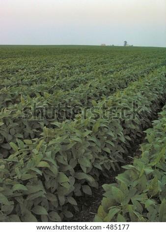Bean Field in Illinois - stock photo