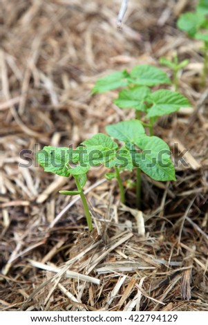 Bean plant seedling with green leaves growing in hay and soil - stock photo