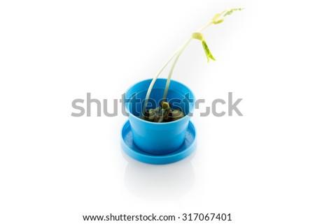 Bean seed germination - stock photo