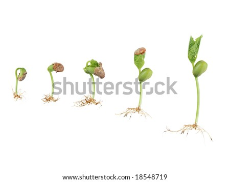 bean seed germination isolated on white - stock photo