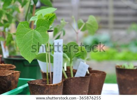 bean seedlings in peat pot outdoor  - stock photo