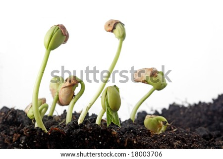 bean seeds germination isolated on white - stock photo