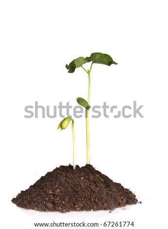 Bean SPROUTS in soil - stock photo