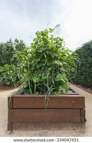Beans growing in raised garden bed - stock photo