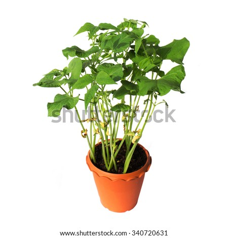 beans plant in pot isolated on white - stock photo