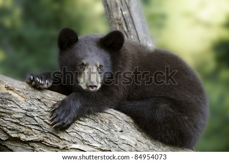 Bear Claws.  The claws on this young black bear (Ursus Americanus) cub's front paws are clearly visible as she relaxes on a sturdy tree limb.