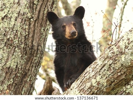Bear cub looking down from tree - stock photo