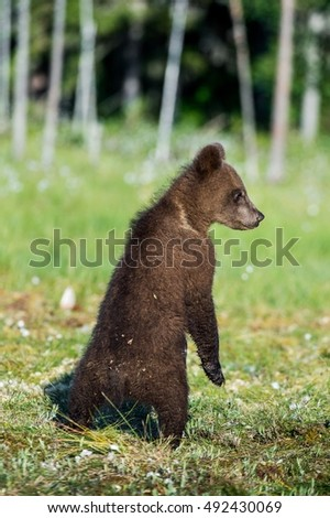 Bear cub stood up on its hind legs. Cub of Brown bear (Ursus Arctos Arctos) in the summer forest. Natural green Background