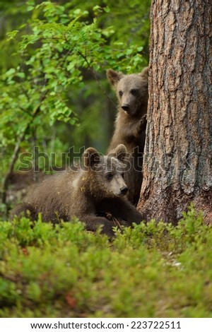 Bear cubs in forest - stock photo