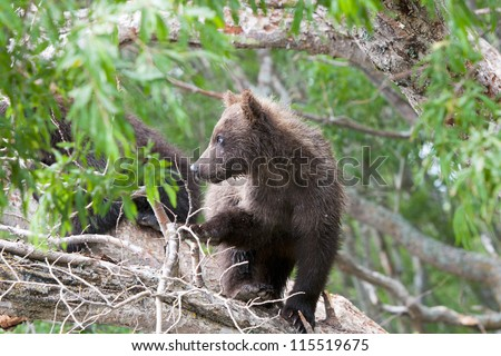 Bear cubs in Russia on the peninsula of Kamchatka - stock photo