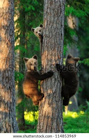 Bear cubs on a tree. Three bears. Young bears. - stock photo