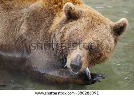 Bear eating a fish