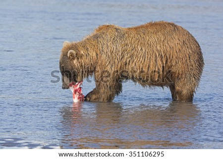 Bear Feeding on Salmon in Hallo Bay in Katmai National Park in Alaska