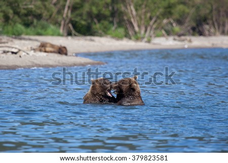 bear fighting. Kamchatka. Russia