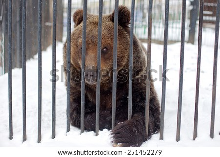 Bear in a cage sticking his nose through cell - stock photo