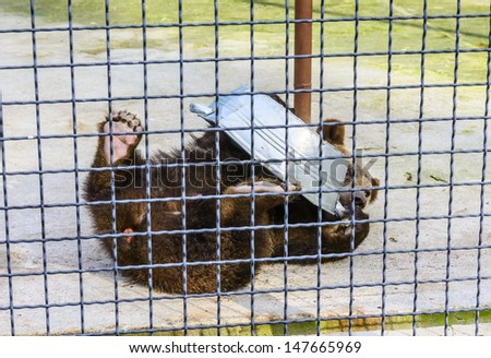 Bear in captivity