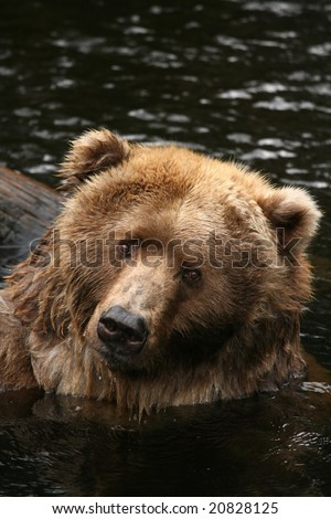 Bear in the water looking at you