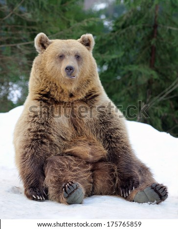 Bear in winter forest - stock photo