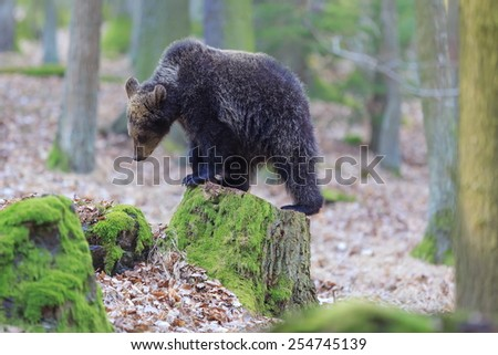 bear is posing - stock photo