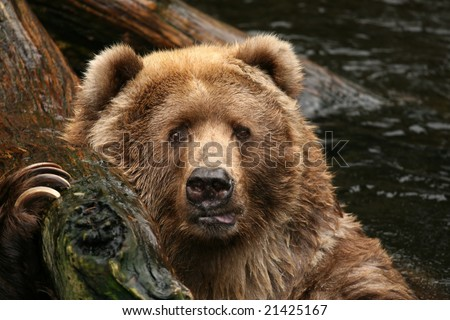 Bear looking at you - stock photo