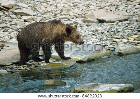 bear on the shore of a mountain river