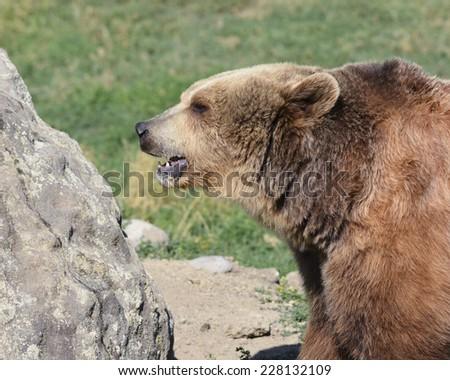 bear outdoors - stock photo