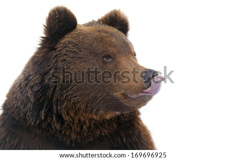Bear portrait isolated on white background