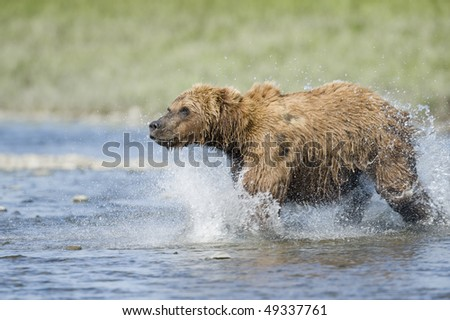 Bear running toward salmon rising out of the water. - stock photo