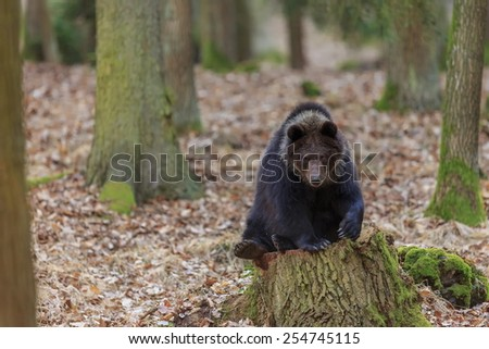 bear sitting on the stump - stock photo