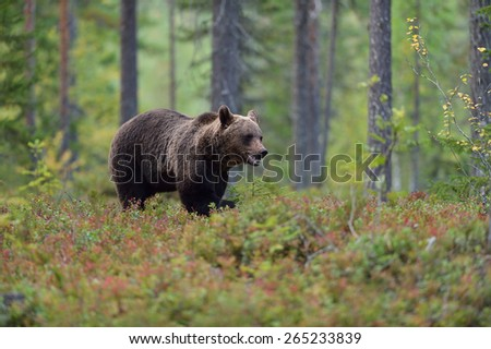 Bear walking in the forest - stock photo