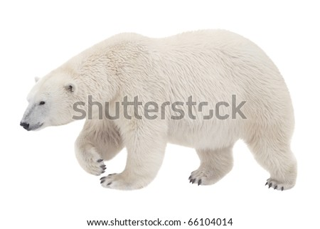 bear walking on a white background - stock photo