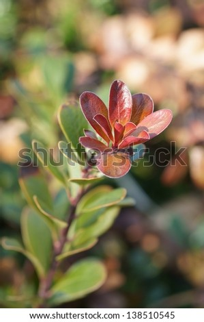 Bearberry leaf - stock photo