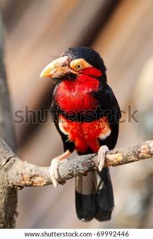 Bearded Barbet - stock photo