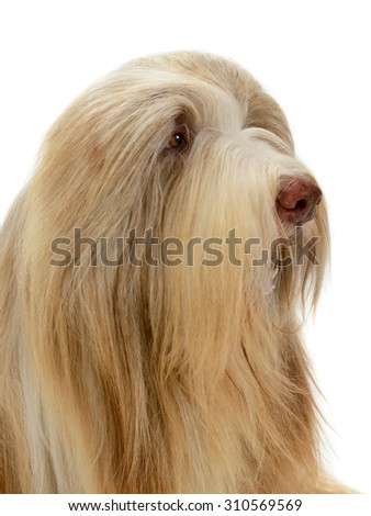 Bearded Collie dog portrait,  isolated on white background - stock photo