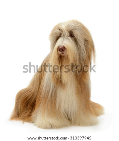 Bearded Collie dog portrait sits isolated on white background.