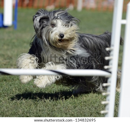 Bearded Collie Dog Running on Agility Course - stock photo