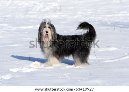 Bearded Collie in the Snow - stock photo