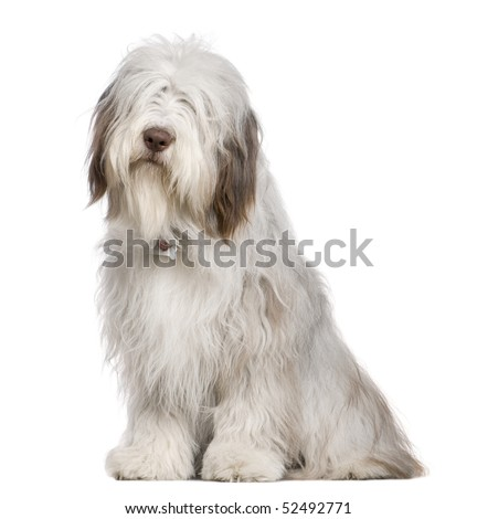 Bearded Collie, 1 year old, sitting in front of white background - stock photo