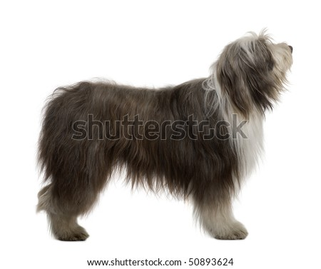 Bearded Collie, 3 Years Old, standing in front of white background - stock photo