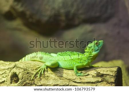 Bearded Dragon - stock photo