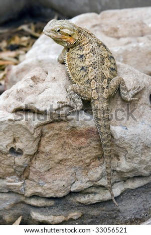 Bearded dragon lizard of Australia