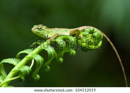 Lime Green Bearded Dragon Bearded Dragon on Green