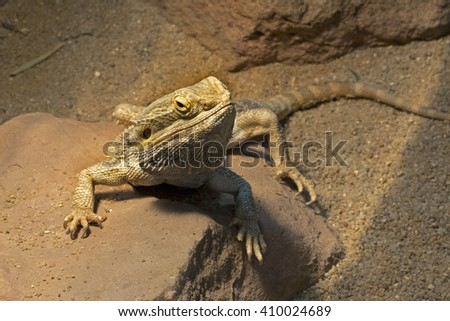 Bearded dragon (Pogona)