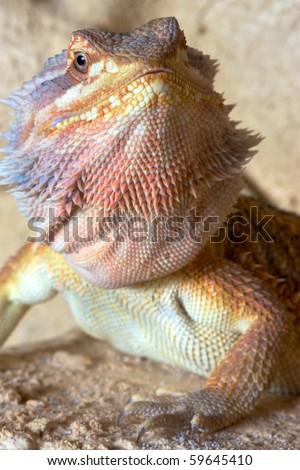 Bearded Dragon (Pogona vitticeps) - stock photo