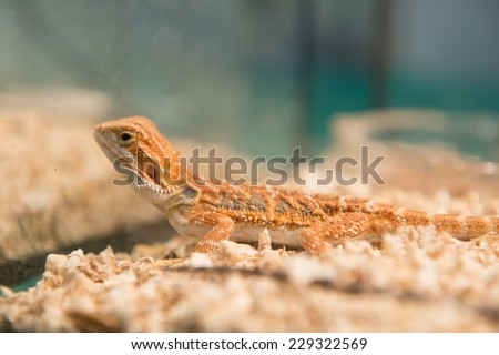 Bearded Dragon(selective focus) - stock photo