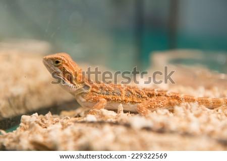 Bearded Dragon(selective focus) - stock photo