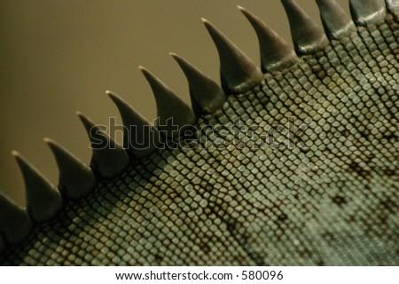 Bearded Dragon Spikes - stock photo