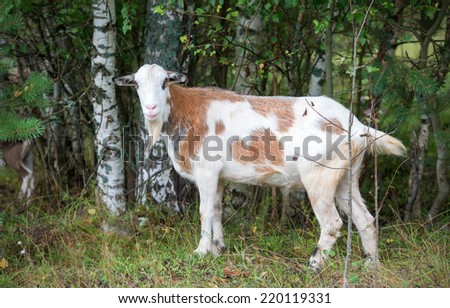 Bearded goat in the forest - stock photo